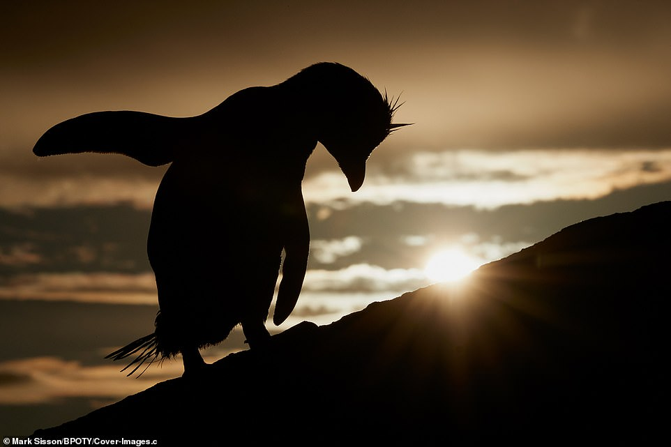 A Southern Rockhopper penguin appeared to bow as the sun began to set in the Falkland Islands