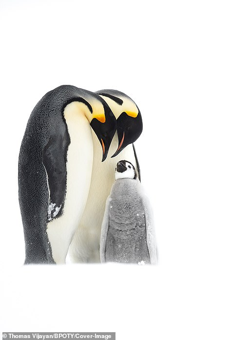 A pair of emperor penguins were pictured looking after their chick in Antarctics by Thomas Vijayaa