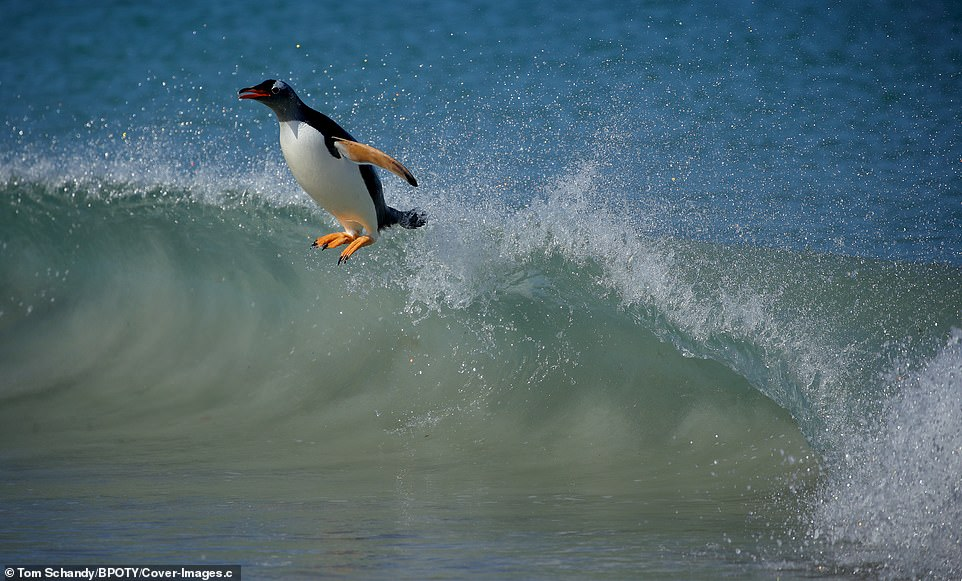 A gentoo penguin enjoys surfing the waves in the sun on Carcass Island, Falkland Islands, UK