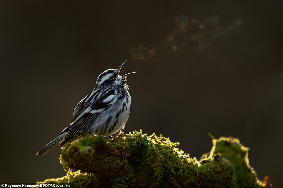 Black and White Warbler sings in the morning, with its breath showing the subtle colours of the rainbow in New Jersey, US