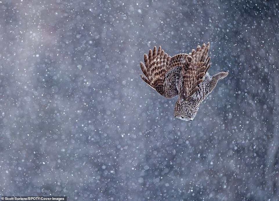 A Great Gray Owl dives head first through heavy snowfall to the field below in search of its next meal in Minnesota, US