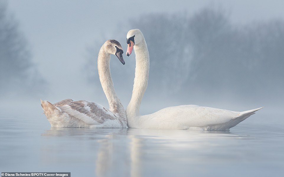 A pair of swans - an adult male and a young female - engaged in a pre-mating ritual in Nottinghamshire, UK, whereby they raised their necks and turning their heads towards each other