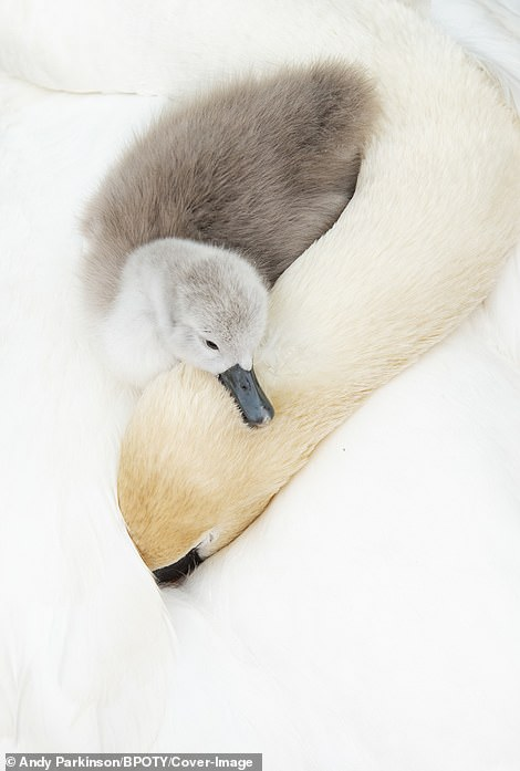 A cygnet, just a few days old, relaxes on the back of its sleeping mother in Derbyshire, UK.