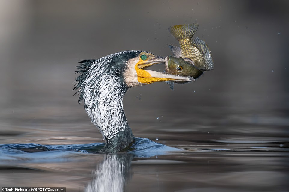A great cormorant was pictured catching a fish at a lake in central Israel by Tzahi Finkelstein
