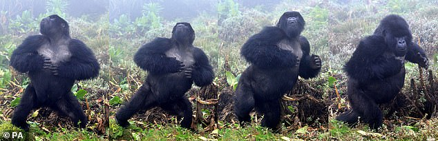 Pictured, four still images showing a male silverback gorilla in Rwanda beating his chest.It is thought that when silverbacks smack their muscular torsos they are broadcasting their dominance and size to rival males while simultaneously trying to impress females