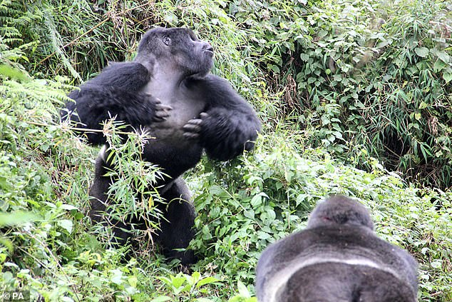 This silverback, known as GSH, beats his chest during an inter-group interaction at theVolcanoes National Park