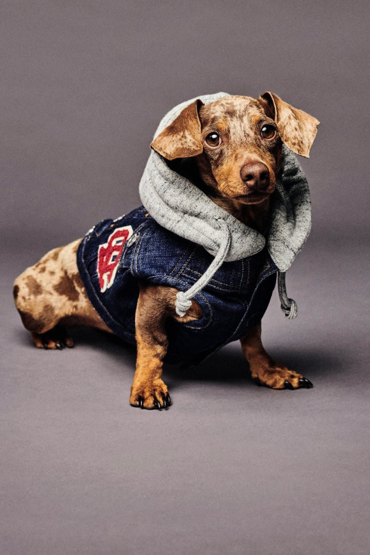 Dog fashions hooded denim vest with patches by DSquared2, the Italian-Canadian brand in collaboration with Poldo Dog Couture ?300, dsquared2.com