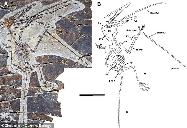 """'The fingers of """"Monkeydactyl"""" are tiny and partly embedded in the slab,' said palaeontologist Fion Waisum Ma of the University of Birmingham. Pictured: theKunpengopterus antipollicatus fossil specimen, which is housed in theBeipiao Pterosaur Museum of China"""