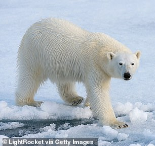 Polar bears have a specialized diet of blubber, but with a decline in sea-ice the animals are unable to hunt seals and may have a hard time adapting to a warming Arctic.