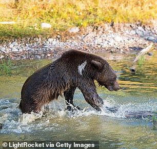 Grizzly bears (pictured) are moving farther north and are mating with polar bears, which results in a pizzly bear