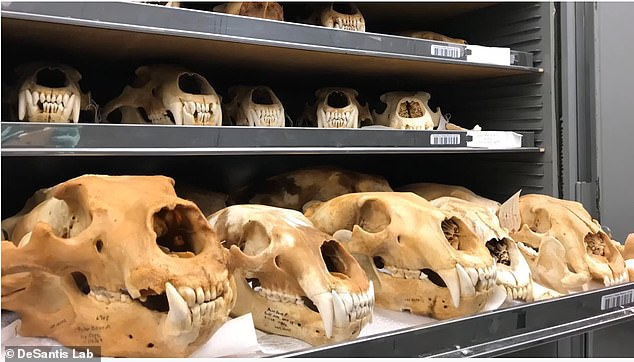 DeSantis, along with former undergraduate student Ansley Petherick, conducted a recent study to assess if and how the diet of polar bears differed in a warming world. They analyzed remains of 20 polar bear specimens – 10 mandibles and 10 skulls that were uncovered at archaeological digs