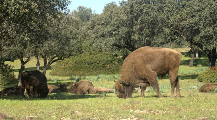 A male bison in Spain, where the animals are not recognised as an endangered species.