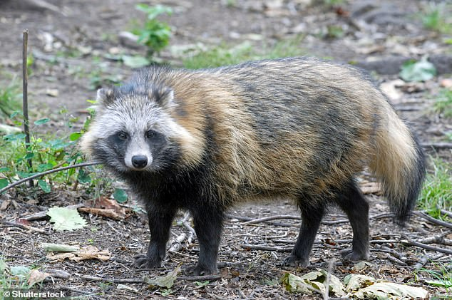 Raccoon dogs (Nyctereutes procyonoides) aren't raccoons, but members of the canid (dog) family. They're native to the forests of eastern Siberia, northern China, North Vietnam, Korea, and Japan and are now widespread in some European countries