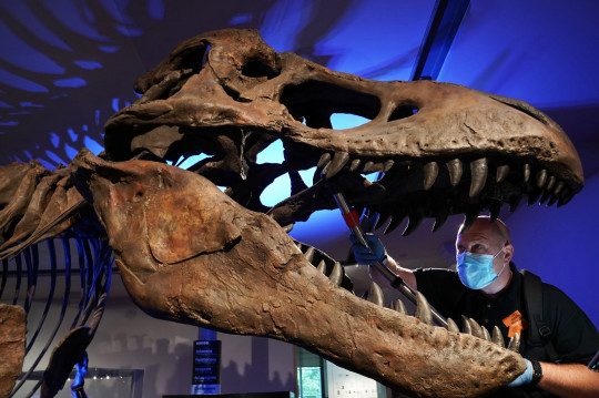Dan Baker gives a replica Tyrannosaurus Rex skull a clean at the Great North Museum: Hancock in Newcastle (PA)
