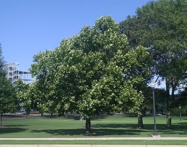 About 500 seeds of different tree species were launched into space in 1971 that circled around the moon 34 times before returning to Earth where they were then planted in different spots around the globe. Pictured is a sycamore the sprouted from a 'space seed.' It stands at was planted in 1975 at Mississippi State University