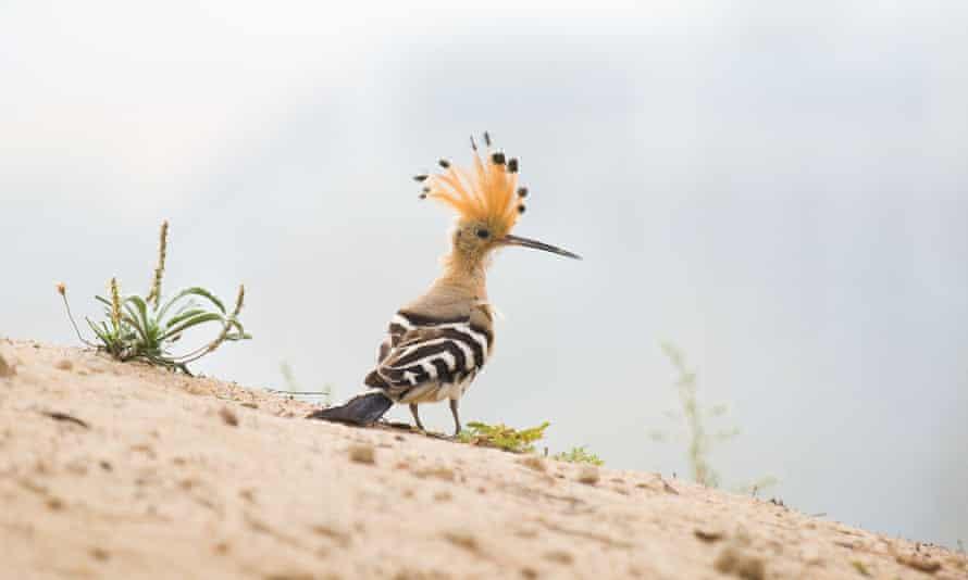 Close up, beautiful bird, African Hoopoe.