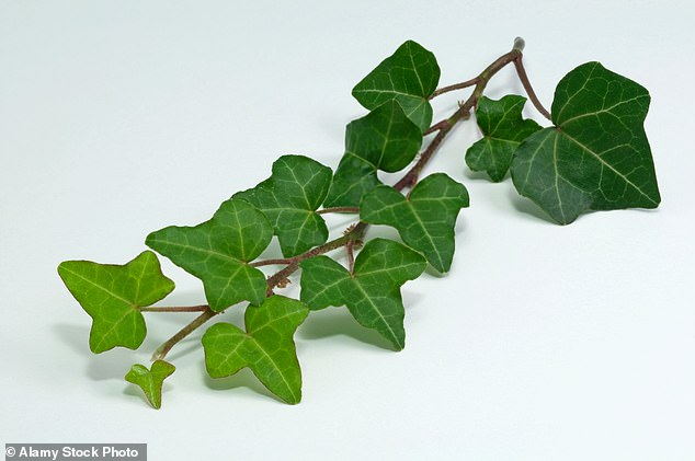 In its climbing state, ivy has three- to five-lobed glossy leaves. It attaches itself to supports by producing aerial roots along the stems