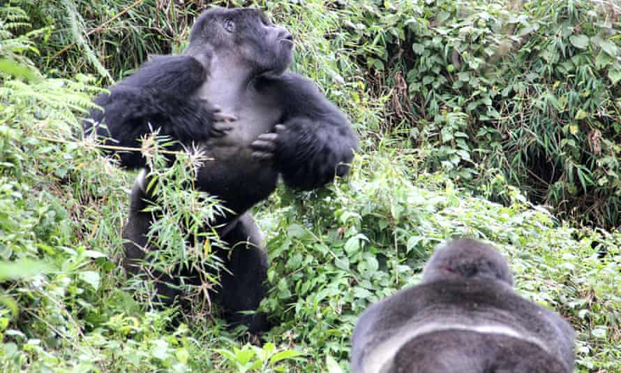 A male gorilla chest-beating as a rival looks on