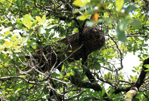Modern-day straw beehive in a tree in Nigeria. Image credit: Dunne et al., doi: 10.1038/s41467-021-22425-4.
