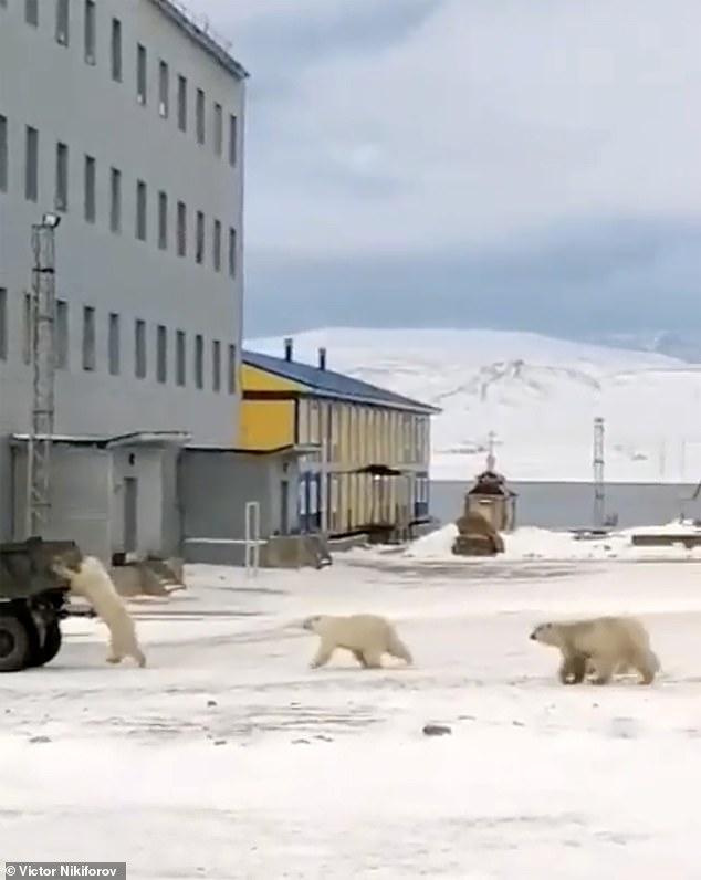 Polar bears at Novaya Zemlya.'The polar bears are accustomed to get their food from rubbish dumps,'Nikiforov said