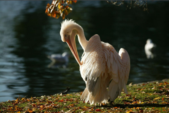 Pelican in St James' Park, London