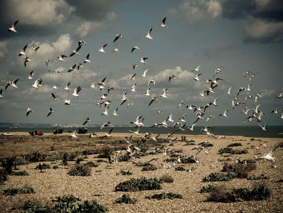 Seabirds over the beach at Dungeness, Kent, UK.