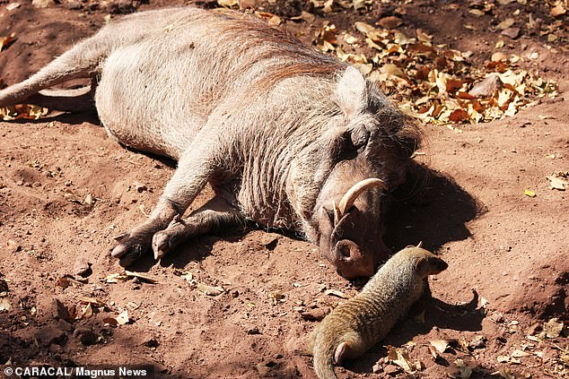 Miss Piggy was rescued as a baby after being hit by a car and Mongo is an orphan
