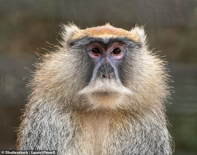 It is unclear how the guenon monkeys died but, Dr Davies told BBC News, the wear on their teeth suggested that they had lived to a 'good age'. Pictured: a guenon monkey