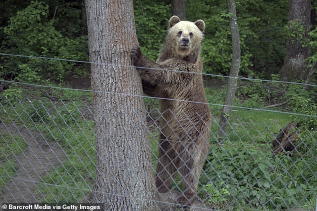 They them compared it to earlier DNA data to create a 'family tree' and found hundreds of 'sites' like trees, poles and posts the bears rubbed against.