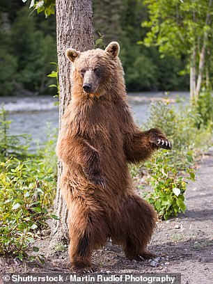The researchers also observed the same relationships for female brown bears