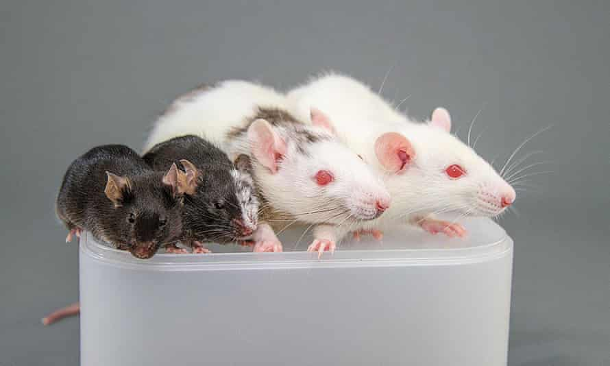 A mouse, a rat-mouse chimera, a mouse-rat chimera, and a rat.