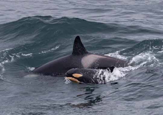 A newborn orca calf spotted playing with its pod in the North Seas off Moray Firth, near Duncansby Head, Caithness. See SWNS story SWSCpod. A newborn orca calf played with its pod in the North Sea. The orange-tinted baby was accompanied by four older killer whales as it played in the Moray Firth, near Duncansbayhead, Caithness. Wildlife enthusiast Karen Munro, 44, travels around Scotland from her home in Thurso, Highlands, hoping to catch sight of the astonishing creatures. She couldn't believe her eyes on Sunday (May 9) when they came between 10 and 20 metres of where she was standing.