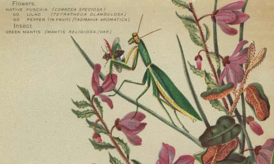 An illustration of a praying mantis
