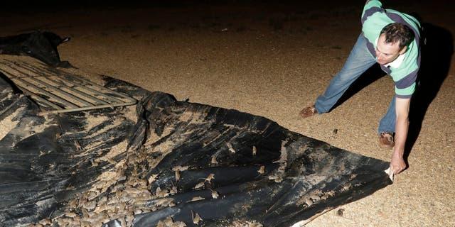 Eric Fishpool pulls on a tarpaulin covering stored grain as mice scurry around on his farm near Tottenham, Australia on May 19, 2021.
