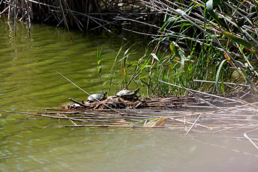 Turtles in the Llobregat river