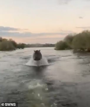 One hippo then takes objection to the sightseers and chases their speedboat, forcing them out of its territory in Kenya