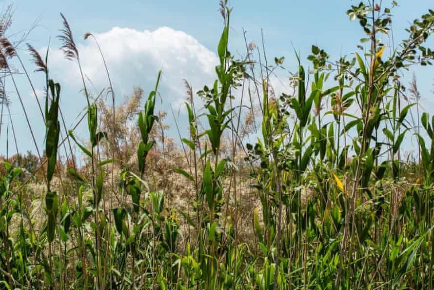 Vegetation in the old delta of the Llobregat river