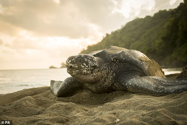 Usually associated with beaches in South America and Africa, visits from leatherback (pictured) and loggerhead turtles are common enough to suggest that the seas around Britain are a home from home