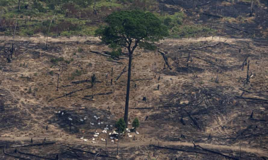 Cattle rest under the shadow of a tree, in a patch of land recently burned near Porto Velho, Brazil.