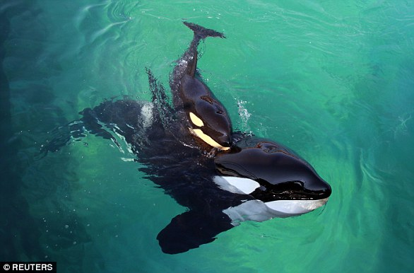 The recordings were rated by Wikie's trainer and the researcher, as well as six independent observers. Pictured is Wikie with her calf