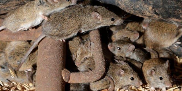 Mice scurry around stored grain on a farm near Tottenham, Australia on May 19, 2021.