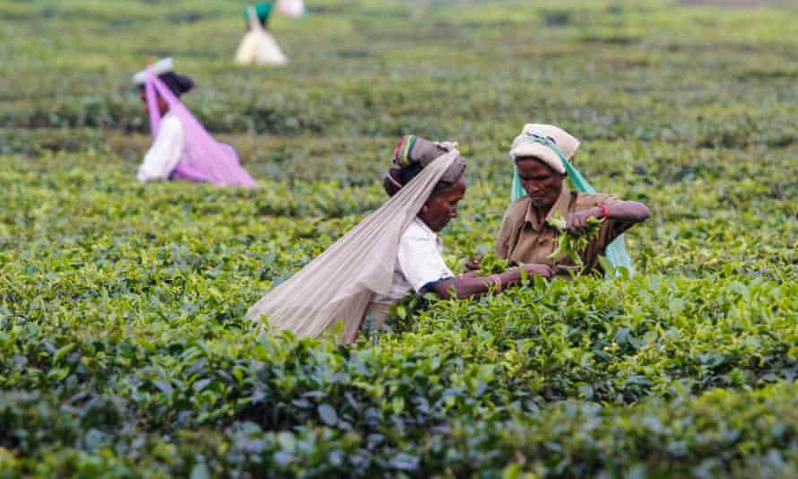 Women harvesting organic tea in the district of Darjeeling in West Bengal in India.