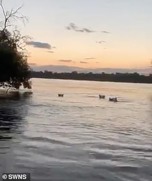 Footage shows four hippos calmly enjoying the water as the boat approaches
