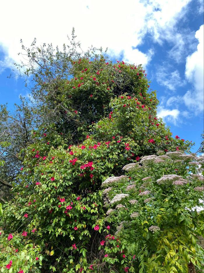 Rosa x odorata 'Bengal crimson' and Melanoselinum decipiens