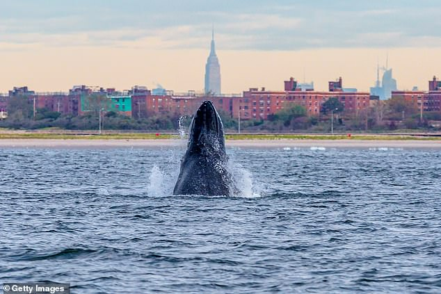 The team can't say exactly why there has been an increase in humpback sightings in the winter months in New York, but predict they are either turning the area into a mating ground, or young males remain behind as they aren't old enough to breed