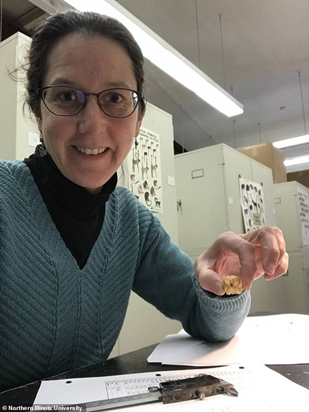 The study's lead author,Leila Porter (pictured), is seen measuring the skull of a pygmy marmoset in the collection of the American Museum of Natural History