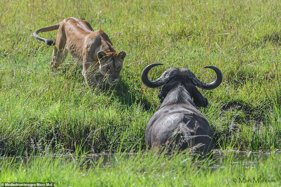 The snaps show the a lioness leading the pride as she stalked up to the horned animal who was relaxing among the grass and closed in on it