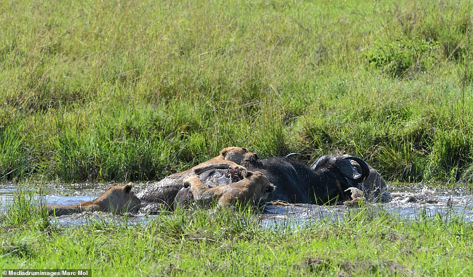 The other lions joined as the buffalo was brought down and could be seen lying down in the watering hole as two lions remained clinging to the animal while another swam up