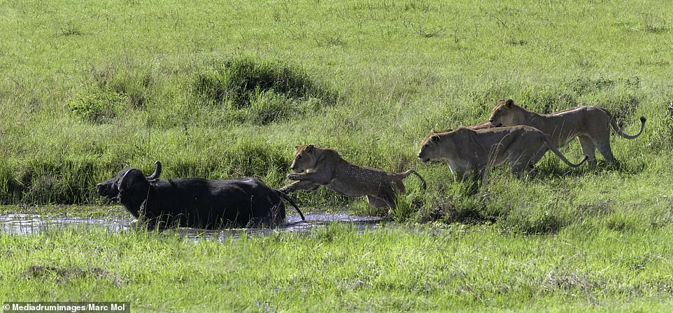 In another snap, a lioness can be seen leaping from the grass towards the buffalo which is standing in the watering hole, while the other lions stand on the bank