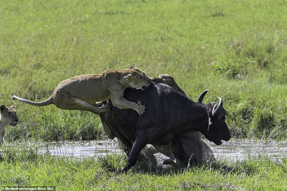 The lionesses were seen dragging the buffalo down in a watering hole, using their teeth and claws, as other members of the pride stood nearby